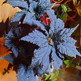 Illustration de Begonia black taffeta