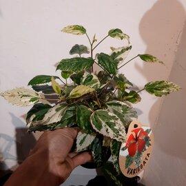 Illustration de hibiscus variegata d'intérieur