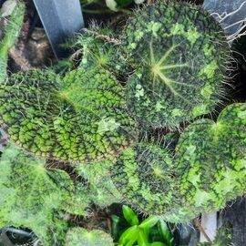 Illustration de begonia sizemoore