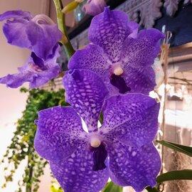 Illustration de orchidee vanda